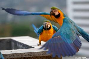 Macaws 2