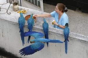 A woman feeds macaws at her apartment's balcony in Los Palos Grandes neighborhood in Caracas March 31, 2015.  REUTERS/Jorge Silva